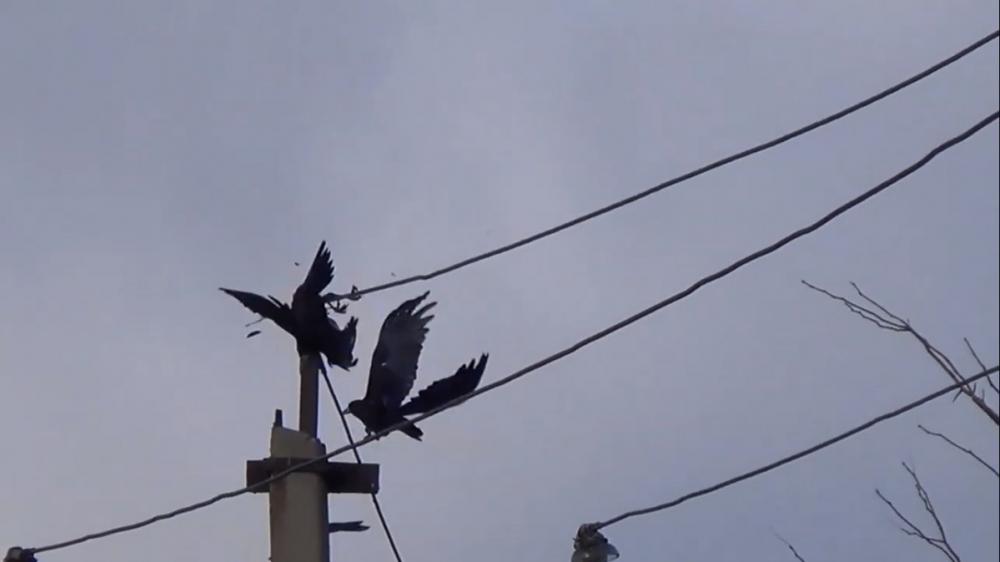Эколог Карецких: «Вороны - это высокоинтеллектуальные птицы»