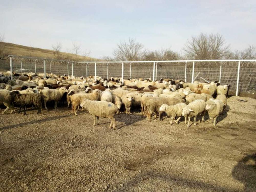 ВРостовской области пограничники задержали баранов из Украины