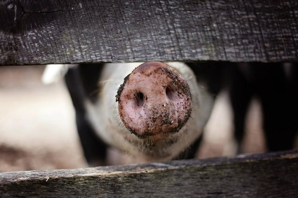 В Ростовской области зафиксирован очаг африканской чумы свиней