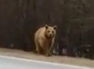 Сбежавший от хозяина медведь приставал к автомобилистам на ростовской трассе и попал на видео