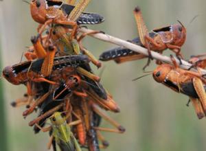 Прожорливая саранча устроит «казнь египетскую» полям в Ростовской области