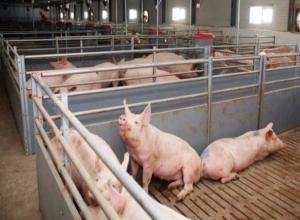 В Целинском районе началось уничтожение поголовья свиней из-за вируса африканской чумы