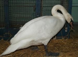 Белого лебедя, замерзавшего на пруду в Ростове, передали в зоопарк