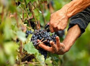 Финансирование виноградарства в Ростовской области увеличили до 40 миллионов рублей