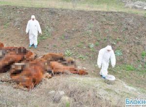 В Ростовской области фермер заморил коров голодом до смерти