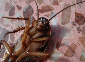 Семью из семи дрессированных тараканов-убийц продает ростовчанин