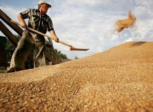 Амброзия и горчак угрожают качеству собранного в Ростовской области зерна