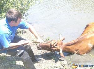 В Ростовской области спасатели вытащили из реки корову