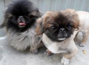 Две маленькие милейшие собачки ищут небезразличных хозяев в Ростове
