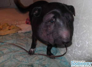 В Ростове зоозащитники спасли собаку, у которой из-за ошейника раздулась голова