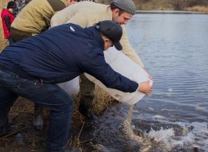 Сотни карпов выпустили мужчины в секретный водоем Ростовской области