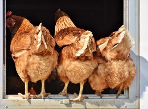 Перекрыты дороги и установлен карантин под Ростовом из-за опасного птичьего гриппа на предприятии