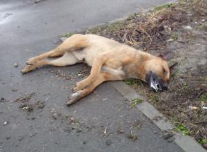 Отравленного догхантерами пса в Ростовской области не покидают друзья