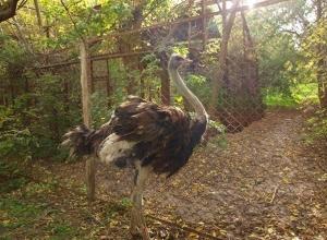 Ростовскому зоопарку подарили африканского страуса Кузю