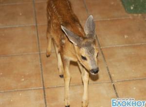 В Ростов из Краснодарского края переехал найденный в лесу месячный олененок Бэмби