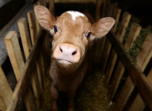 Одиноко пасущегося теленка прихватила в качестве сувенира гостившая на Кубани молодая ростовчанка