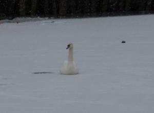 В Ростове на замерзшем пруду спасли погибающего лебедя