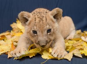 Маленький царь зверей родился в ростовском зоопарке