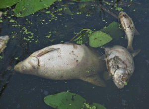 Ростовчане бьют тревогу из-за массовой гибели рыб на Северном водохранилище