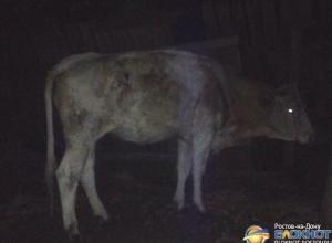 В Ростове корову, привязанную к водовозу, пытались доставить домой