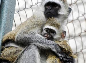 В Ростовском зоопарке откроют зимний павильон с обезьянами