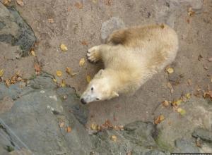 В ростовский зоопарк привезут самку белого медведя из Чехии