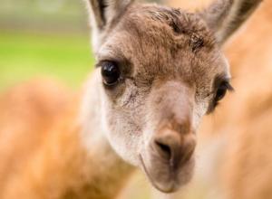 Рождение малышки-гуанако оказалось большим успехом Ростовского зоопарка