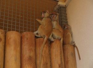 В зоопарк Ростова привезли шесть красных мартышек из Латвии