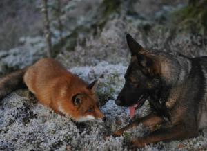 Стая собак и лисица помешали самолету из Ростова приземлиться в аэропорту «Внуково»