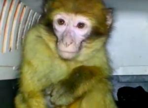 Схваченных в Ростовской области шесть обезьян и двух кенгуру из Украины показали на видео