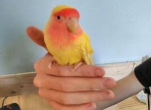 Гуляющего у фонтана жёлто-оранжевого попугая поймали в Ростове-на-Дону
