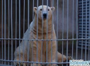 В зоопарке Ростова поселился белый медведь из Перми