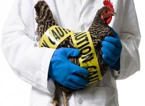 Вспышку смертельно опасного птичьего гриппа выявили на птицефабрике в Ростовской области
