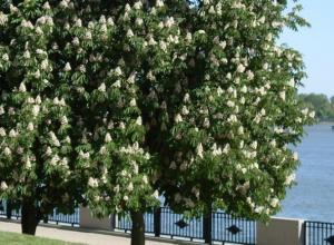 Власти Ростова не желают бороться с жуткими паразитами, пожирающими каштановые деревья