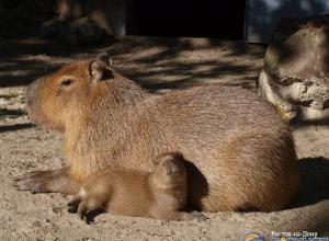 В Ростовском зоопарке впервые родился детеныш капибары