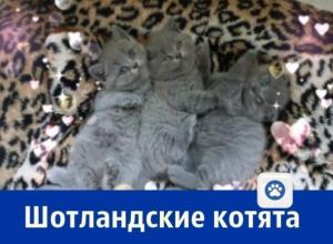 Плюшевых шотландских котят продает ростовчанка