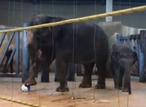 Уморительное обучение семилетней слонихи игре в футбол в зоопарке Ростова попало на видео