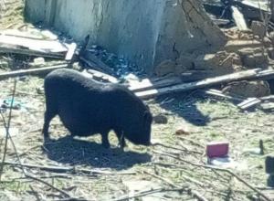 Самовыгуливавшаяся по улицам Ростова вьетнамская свинка заинтересовала оголодавших горожан на видео