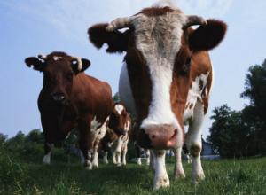 Опасный бруцелез, который может сделать человека инвалидом, нашли у коров под Ростовом