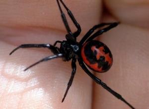В Оренбуржье дальнобойщик из Ростова после укуса ядовитого паука каракурта попал в реанимацию