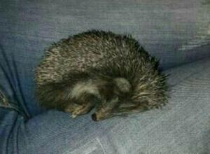 Милое колючее существо нашла жительница Ростова по дороге домой