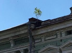 Трепетное деревце выросло на крыше старого дома в Ростове назло ветрам и отсутствию почвы