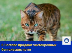 Продаются домашние леопардики