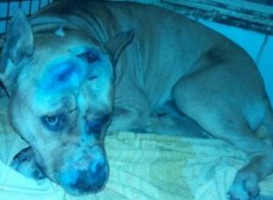 В Ростове нашлись хозяева пса, которого живодеры пытались застрелить и зарубить топором