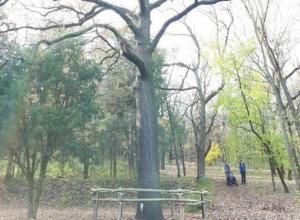 «Блокнот Ростов» помог спасти Дуб желаний в ботаническом саду