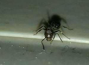 Дрессированного ручного муравья выставил на продажу предприимчивый ростовский альпинист
