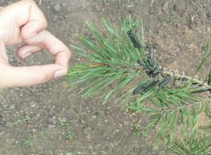 Уничтожающие все на своем пути армии вредоносных гусениц атаковали хвойные деревья в Ростовской области