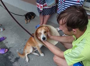 Пострадавшая от ростовского живодера собака ищет дом