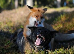 Бешеные лисы активизировались и стали нападать на собак в Ростовской области
