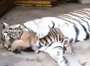 В День Тигра ростовский зоопарк показал ростовчанам новорожденного тигренка